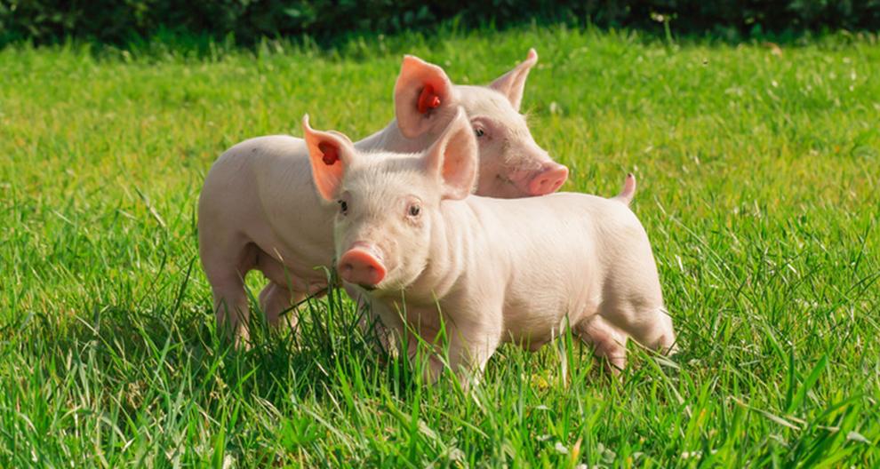 reses cerdos y aves hipp biológico